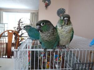 Two Turquoise Conures