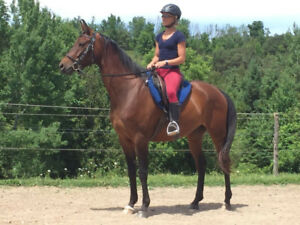 6 year old Hanoverian Arabian Gelding 16.1 hh