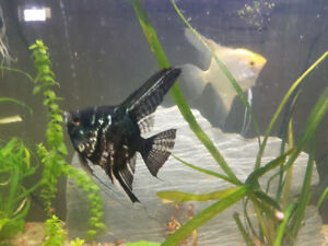 5 large Angle Fish that comes with everything you need.