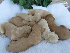 Tiny F1b English Goldendoodle Puppies
