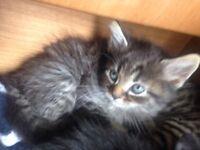 Tabby kittens x2