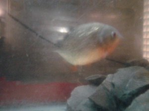 3 red belly piranha for sale best offer takes them