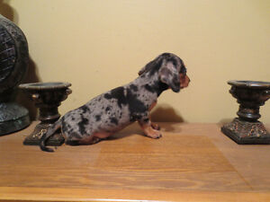 Micro Teacup Pup4th generation Mini Dachshund x Micro Teacup Chi