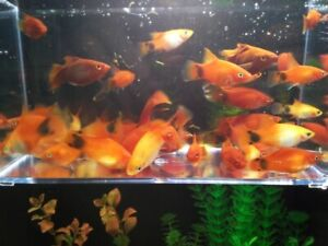 PLATYS, Red Coral, Hi Fin, Mickey Mouse, Sun Burst & More