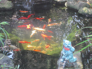 Koi fish for sale kijiji free classifieds in ontario for Big fish ponds for sale
