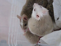 Breeding Trio of African Soft-furred Rats
