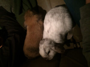 *Free to Good Home - Two Sister Female Lop Eared Bunnies
