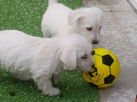 Westhighland terrier pups 2 males left