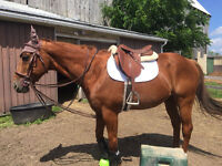 13 year old 15.3 Aqha gelding for sale