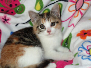 Calico Kitten, Vet Check & Shots