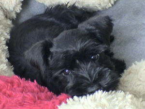 Black - Minature Schnauzer puppies