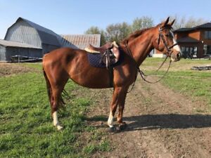 2008 TB x Hanoverian Mare for Sale
