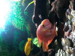 Parrot Cichlids for sale