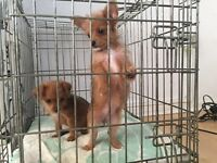 Chihuahua X toy poodle puppies