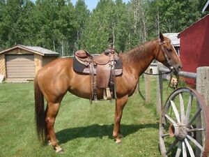 Papered working cow horse mare for sale in Millarville AB