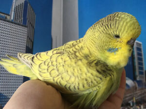 HAND RAISED TAME ENGLISH BUDGIE BABIES