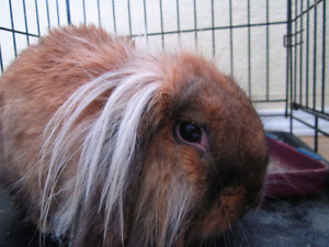 Pretty Lion Head rabbit is looking for the new home