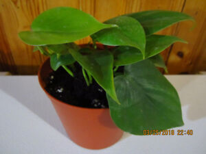 Pothos Plant - Low Light/Air Purifying