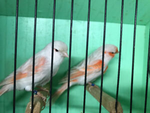 Satinet red mosaic canaries for sale