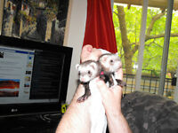 2 lovely young female ferrets / 2 belle jeune furets females