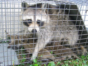 ************ANIMAL REMOVAL ***********Raccoon, Squirrel, skunk