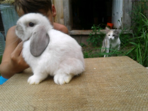 Bb lapine belier hollandais