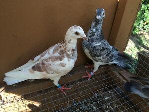 racing pigeon homers for sale