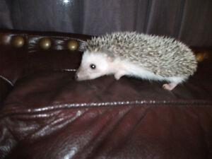 1 baby female hedgehog 7 weeks old