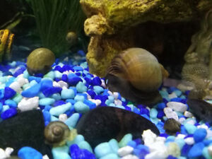 Baby Apple Snail for Sale $5 each 3 for $12