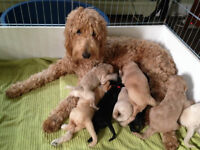 8 Beautiful Goldendoodles