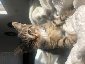 Adorable 8 Week Old Kitten - Female With Shots