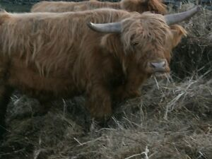 Quality Highland Cattle for Sale Kingston Kingston Area image 9
