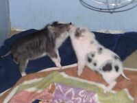 Registered Mini Pet Pigs! From a REPUTABLE Breeder!
