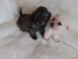 Poodle X chihuahua puppies