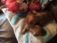 Stunning minature chocolate dachsund pups