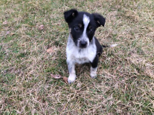 Cute border collie cross with australian shepherd for rehoming