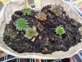 Sempervinum plant