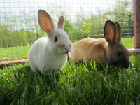 RABBITS FOR SALE! BROOD OR MEAT STOCK SPRING SALE