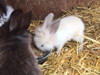 Lionhead, Minilop bunnies for sale, rabbits