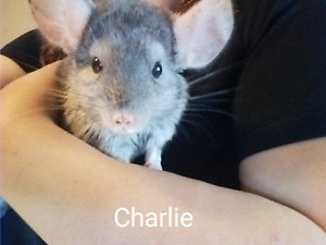3 Chinchillas Need New Home