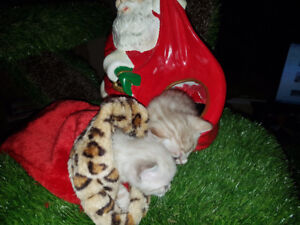 bengal kittens snow and brown