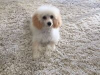 Adorable miniature poodle for sale. Five months old girl