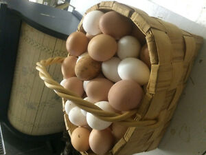 Free range chicken eggs, accepting new customers Prince George British Columbia image 2