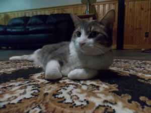 """LOST - MALE SILVER TABBY """"LINCOLN"""" London Ontario image 3"""