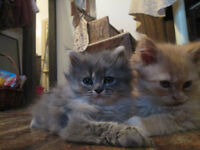 Three adorable RagdollX kittens are ready for new homes.