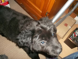 Newfoundland pup for sale Really cute