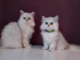 Full pedigree chinchilla kittens