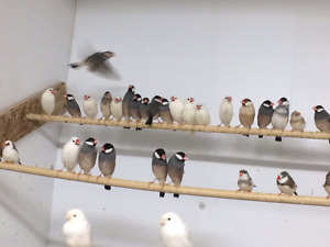Lots of java finches! !