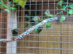 Baby Red Faced Parrot Finches