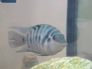 Male Chiclids for sale.